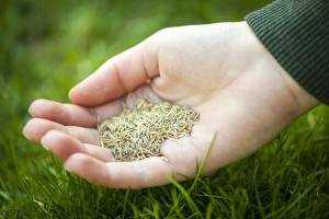 Overseeding-Your-Turf-CWST