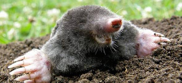Ridding Your Golf Course of Moles