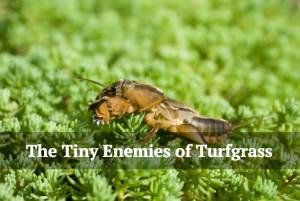 The Tiny Enemies of Turfgrass.