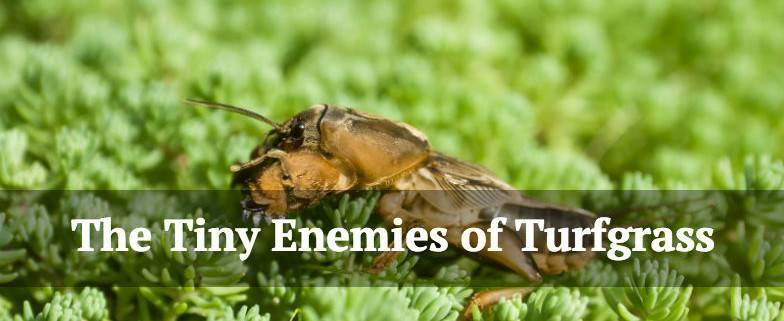 The Tiny Enemies of Turfgrass